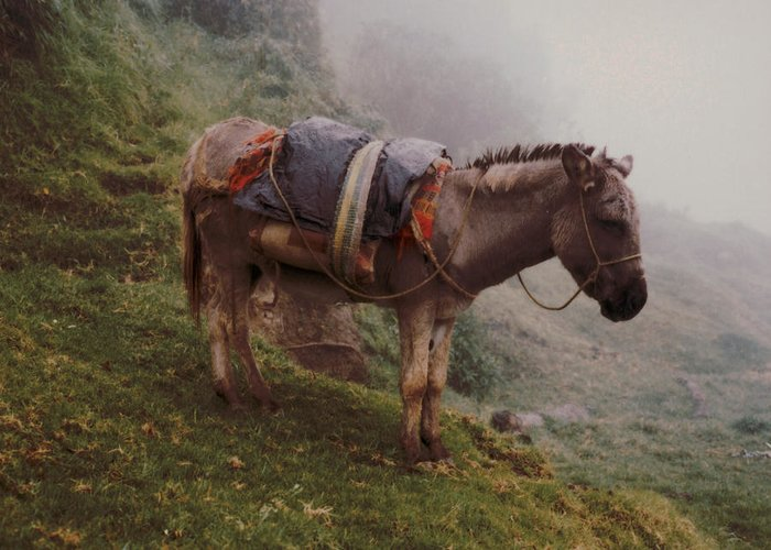 Donkey Greeting Card featuring the photograph Colombian Burro In The Fog by Lawrence Costales