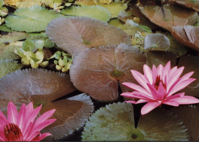 Lillies Colombia Flower Pink Water Green Greeting Card featuring the photograph Colombian Pink Lillies by Lawrence Costales