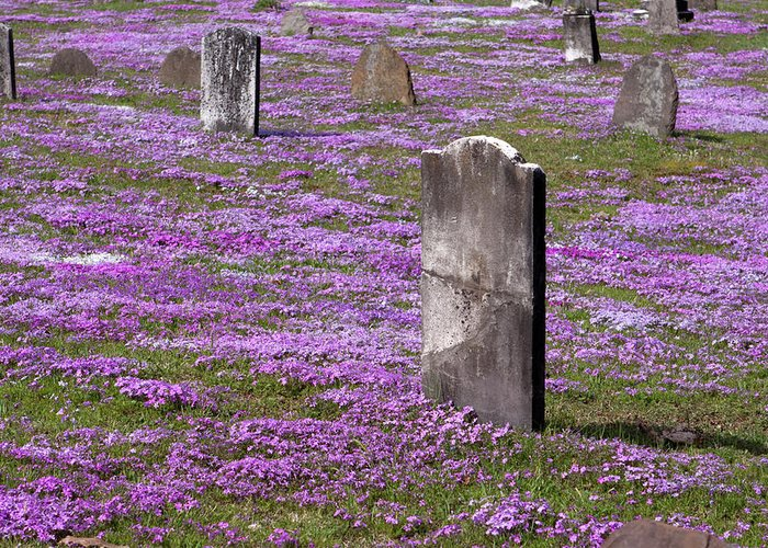 Tombstone Greeting Card featuring the photograph Colonial Tombstones Amidst Graveyard Phlox by John Stephens