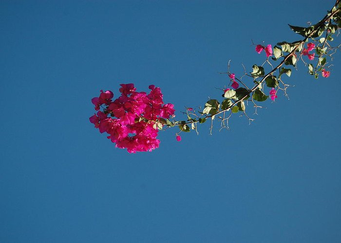 Bougainvillea Greeting Card featuring the photograph Color And Sky by Jean Booth