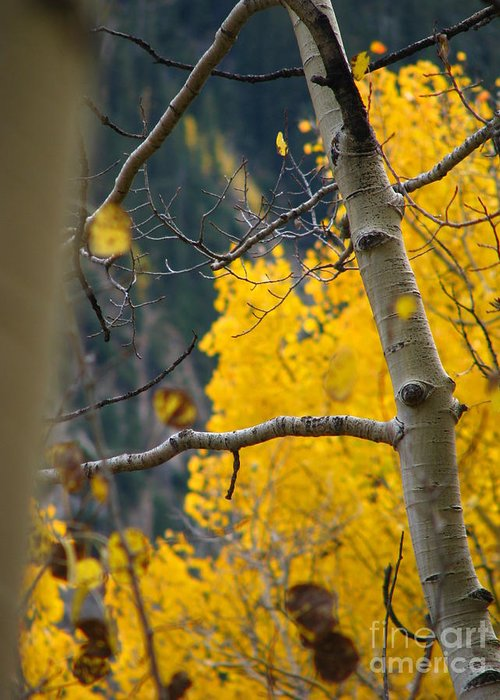Aspens Greeting Card featuring the photograph Colorado Aspen In Fall by Jeff White