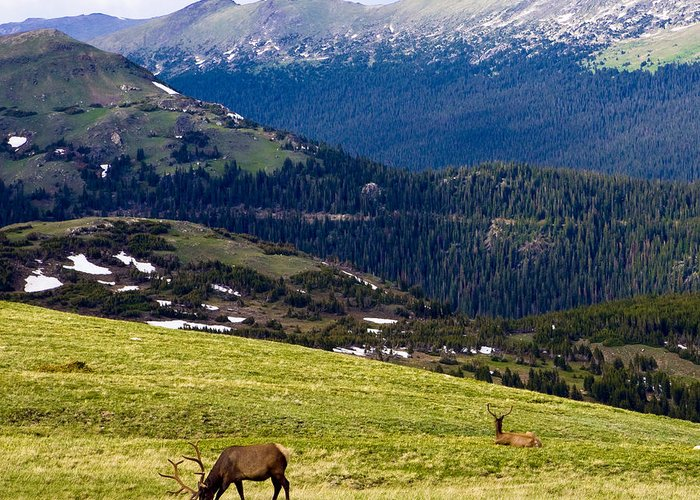 Americana Greeting Card featuring the photograph Colorado Elk by Marilyn Hunt