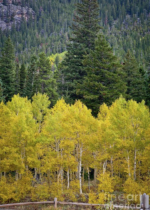 Colorado Greeting Card featuring the photograph Colorado Golden Aspens by Brent Parks