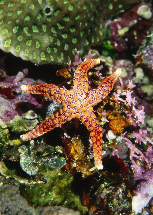 Fiji Greeting Card featuring the photograph Colorful Seastar Laying On Cean Reef by James Forte