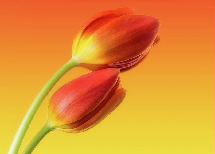Tulips Greeting Card featuring the photograph Colorful Tulips by Wim Lanclus
