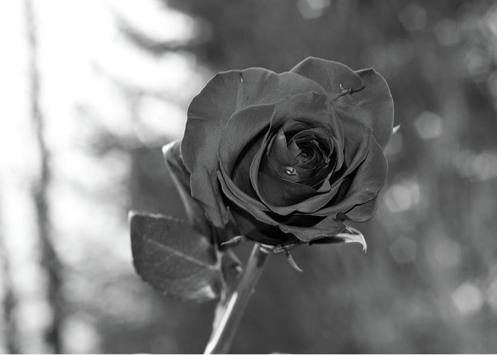 B/w Greeting Card featuring the photograph Colorless Rose by Ben McLachlan