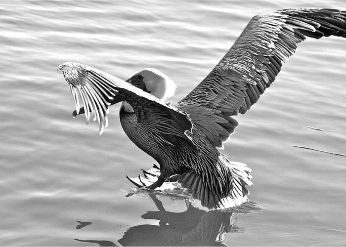 Pelican Greeting Card featuring the photograph Coming In... by Bonnes Eyes Fine Art Photography