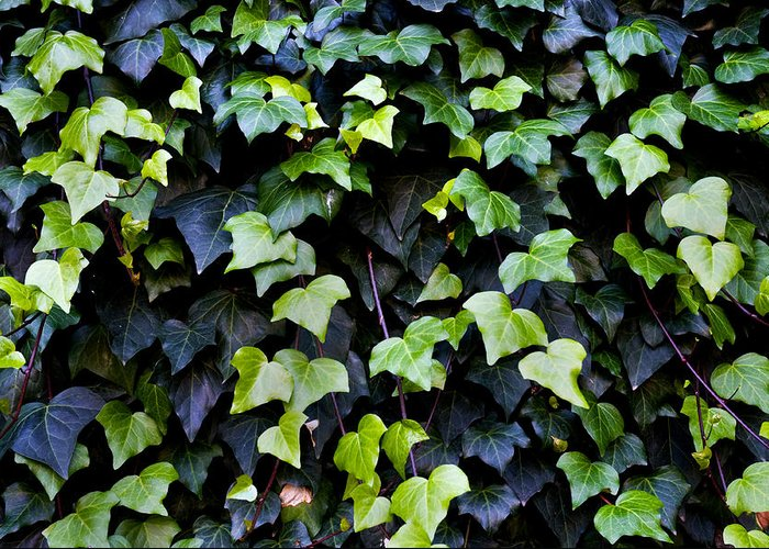 Close Up Greeting Card featuring the photograph Common Ivy by Fabrizio Troiani