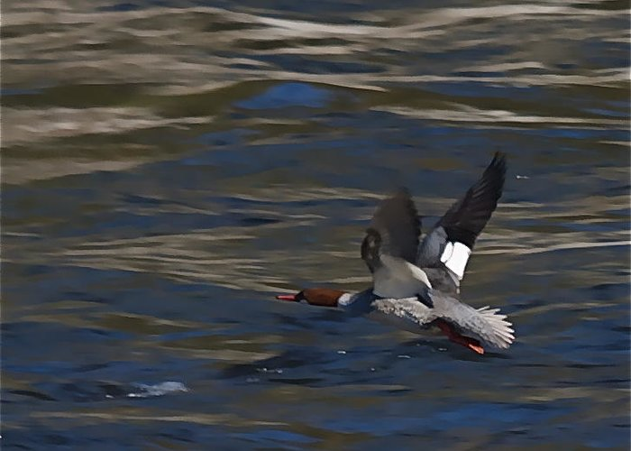 Ducks Greeting Card featuring the photograph Common Merganser Duck by Peter Gray