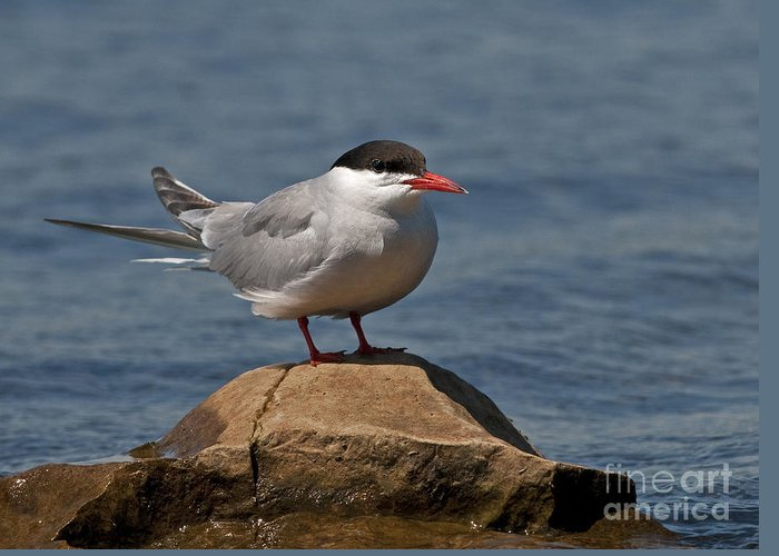 Nina Stavlund Greeting Card featuring the photograph Common Tern... by Nina Stavlund