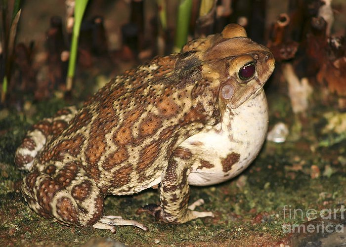 Animal Greeting Card featuring the photograph Common Toad by Teresa Zieba