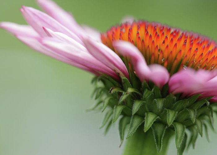 Cindi Ressler Greeting Card featuring the photograph Coneflower by Cindi Ressler