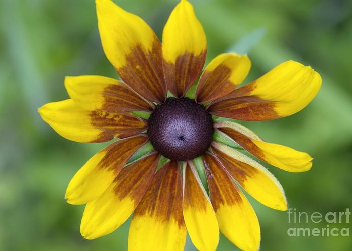 New England Greeting Card featuring the photograph Coneflower - New England Wild Flower by Erin Paul Donovan