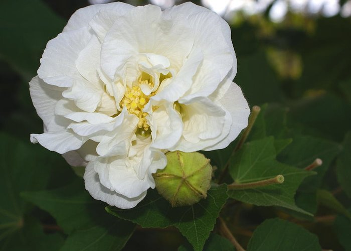 Botanical Greeting Card featuring the photograph Confederate Rose by Debbie May