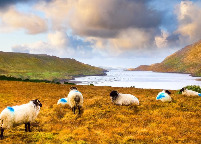 Galway Greeting Card featuring the photograph Connemara Sheep Grazing Over Killary Fjord by Mark E Tisdale