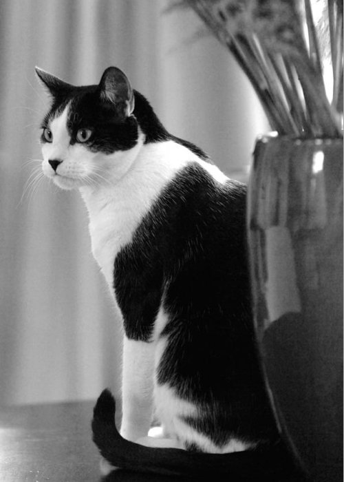 Black And White Greeting Card featuring the photograph Contemplative Cat Black And White by Jill Reger