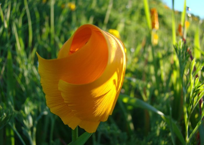 �poppies Artwork� Greeting Card featuring the photograph Contemporary Orange Poppy Flower Unfolding In Sunlight 10 Baslee Troutman by Baslee Troutman