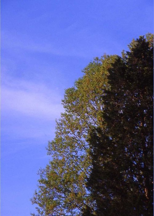 Tree Greeting Card featuring the photograph Contrasting Trees Against Sky by Randy Muir