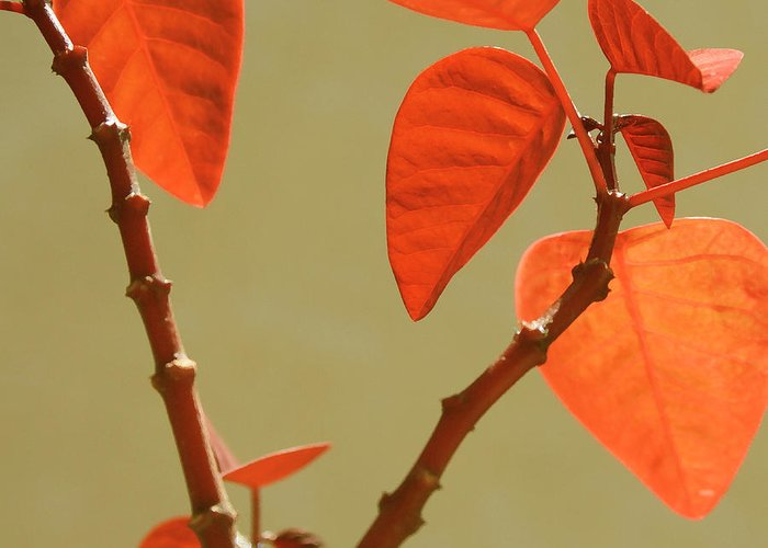 Orange Leaves Greeting Card featuring the photograph Copper Plant by Ben and Raisa Gertsberg