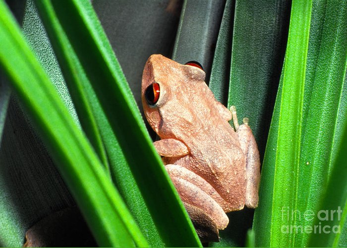 Coqui Greeting Card featuring the photograph Coqui In Bromeliad by Thomas R Fletcher