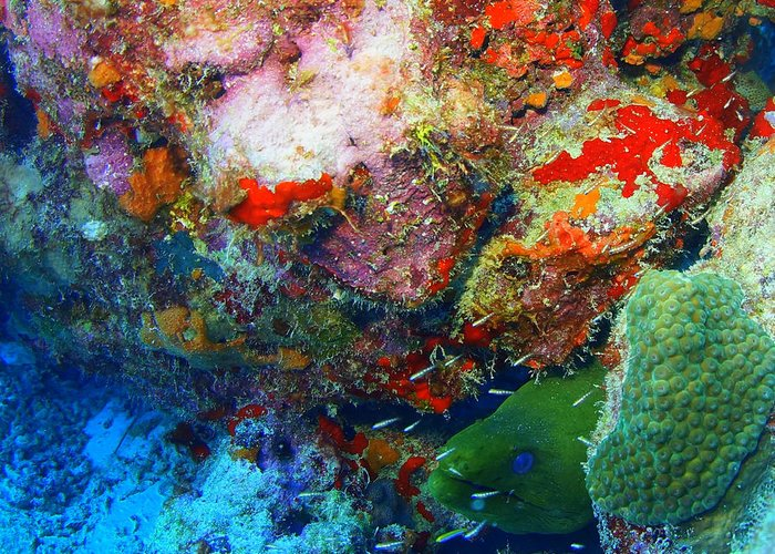 Greeting Card featuring the photograph Coral Eel by Todd Hummel