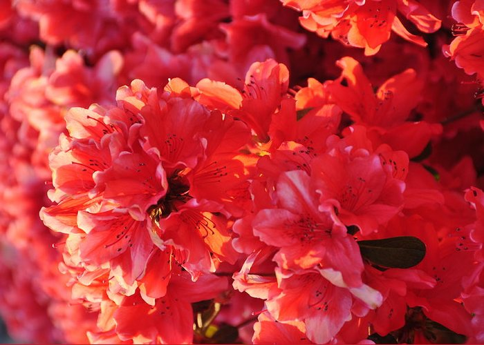 Floral Greeting Card featuring the photograph Coral Pink Azaleas by Jan Amiss Photography