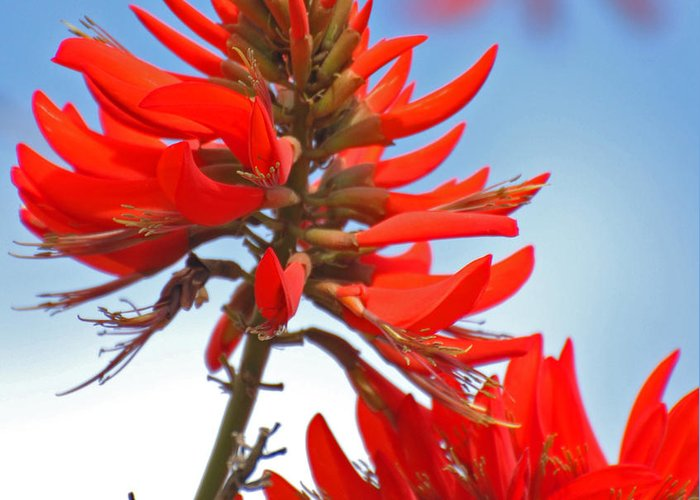 Coral Tree Greeting Card featuring the photograph Coral Tree Blooms by Jean Booth