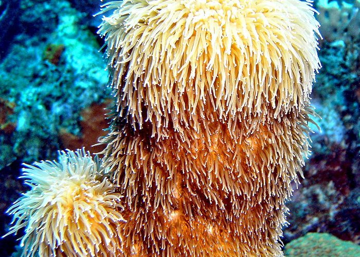 Nature Greeting Card featuring the photograph Corky Sea Finger Coral - The Muppet Of The Deep by Amy McDaniel