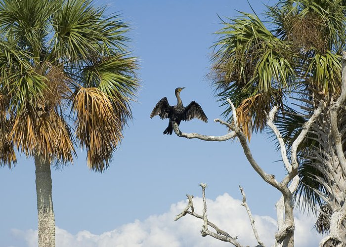 bird Watching Greeting Card featuring the photograph Cormorant Drying by Stacey Lynn Payne