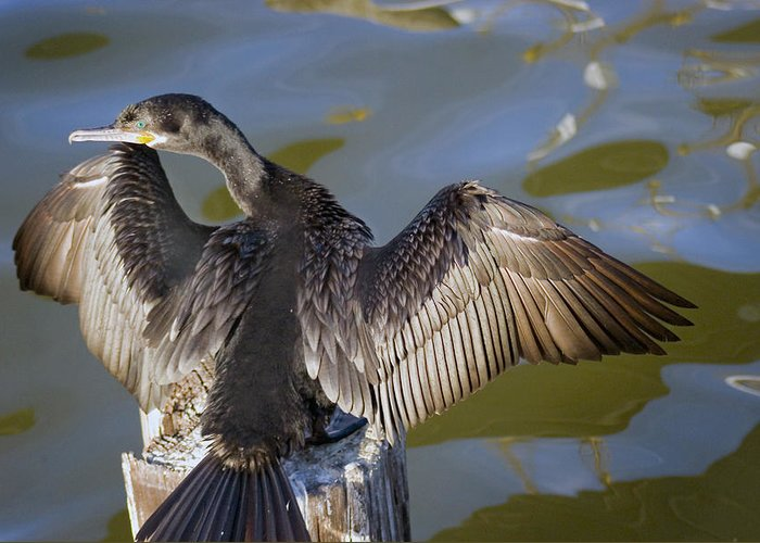Neotropic Cormorant Greeting Card featuring the photograph Cormorant looking back by Robert Brown