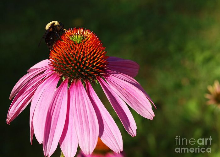 Flower Greeting Card featuring the photograph Corn Flower by Valerie Morrison