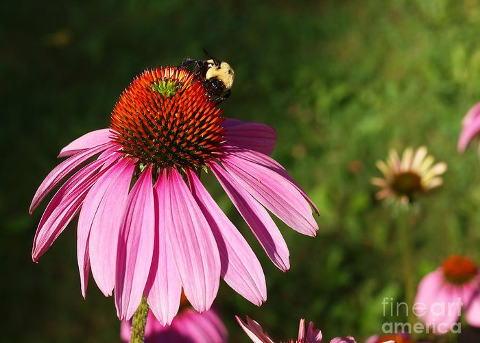 Corn Flower Greeting Card featuring the photograph Corn Flower With Bee by Valerie Morrison