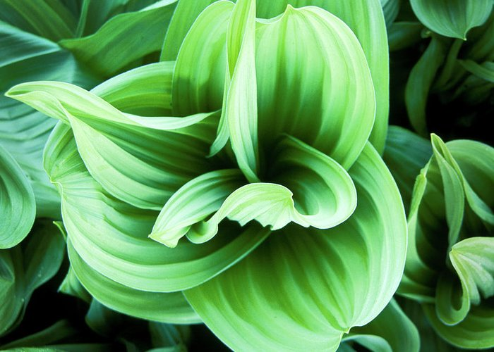 Corn Lily Greeting Card featuring the relief Corn Lily by Joe Palermo