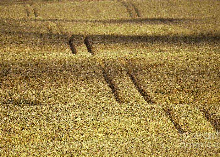 Heiko Greeting Card featuring the photograph Cornfield by Heiko Koehrer-Wagner