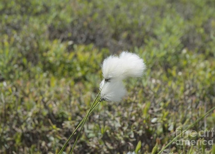 New England Greeting Card featuring the photograph Cotton Grass -eriophorum Virginicum- by Erin Paul Donovan