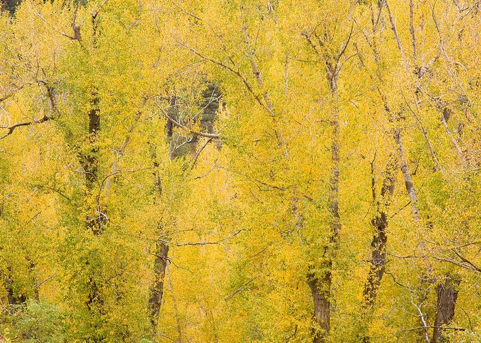 Yellow Greeting Card featuring the photograph Cottonwood Autumn Colors by James BO Insogna