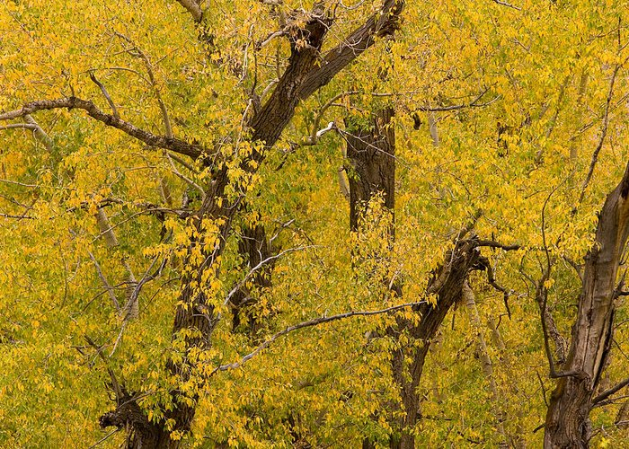 Autumn Greeting Card featuring the photograph Cottonwood Fall Foliage Colors by James BO Insogna