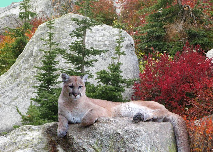 Cougar Greeting Card featuring the photograph Cougar On Rock by Robert Bissett