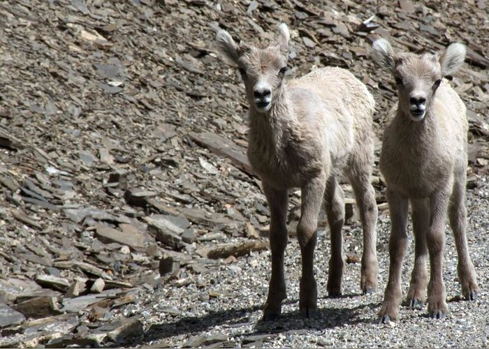 Baby Greeting Card featuring the photograph Couple Of Cuties- Baby Bighorn by Tiffany Vest