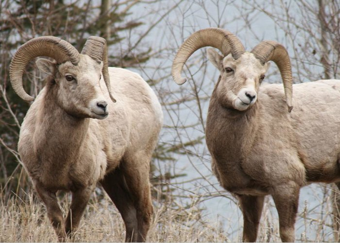 Bighorn Sheep Greeting Card featuring the photograph Couple of Rams- Banff National Park by Tiffany Vest