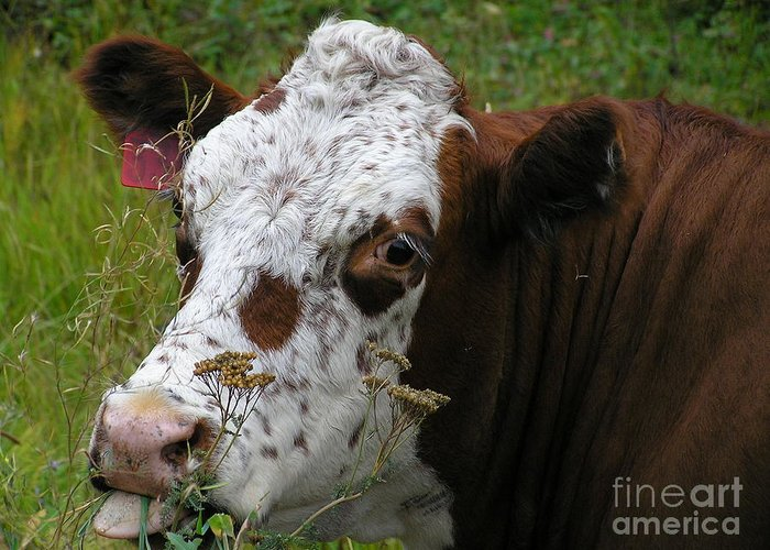 Tongue Greeting Card featuring the photograph Cow Tongue by Louise Magno