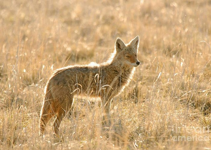 Coyote Greeting Card featuring the photograph Coyote At Dawn by Dennis Hammer