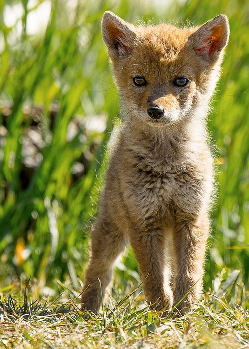 Pup Greeting Card featuring the photograph Coyote Pup by Terry Hawthorne