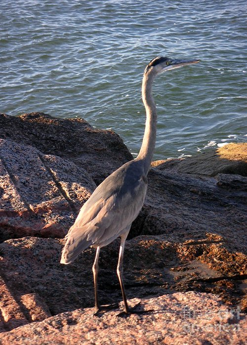 Nature Greeting Card featuring the photograph Creatures Of The Gulf - Ever Watchful by Lucyna A M Green