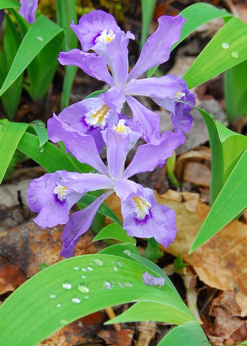 Iris Greeting Card featuring the photograph Crested Dwarf Iris by Alan Lenk
