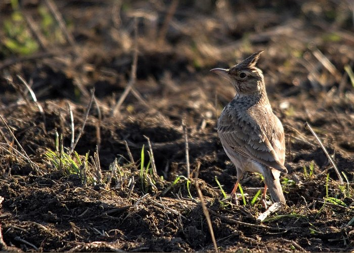 Crested Lark On Ploughed Field Greeting Card featuring the photograph Crested Lark by Cliff Norton