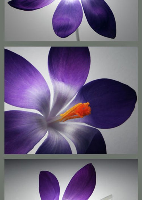 Crocus Flower Greeting Card featuring the photograph Crocus Triptych. by Terence Davis