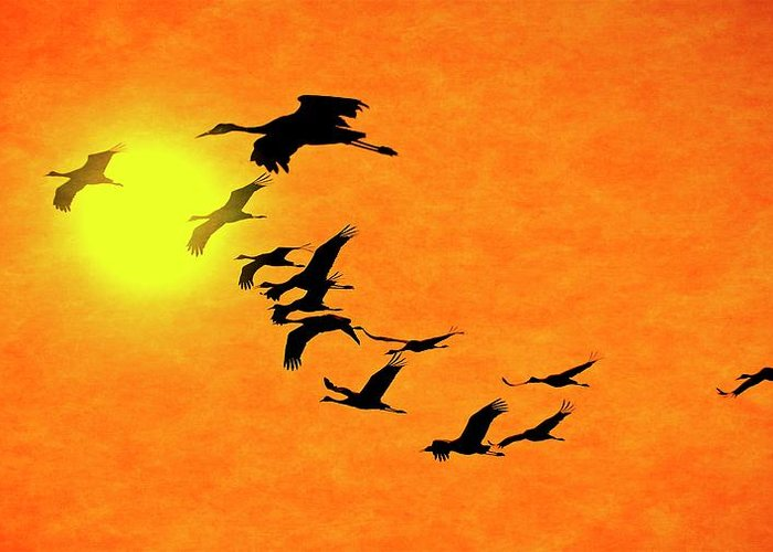 Nature Greeting Card featuring the photograph Crossing the Sun, Sandhill Cranes by Zayne Diamond Photographic