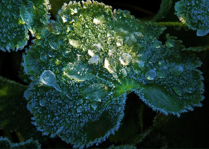 Crystal Greeting Card featuring the photograph Crystal Lady's Mantle by Douglas Barnett