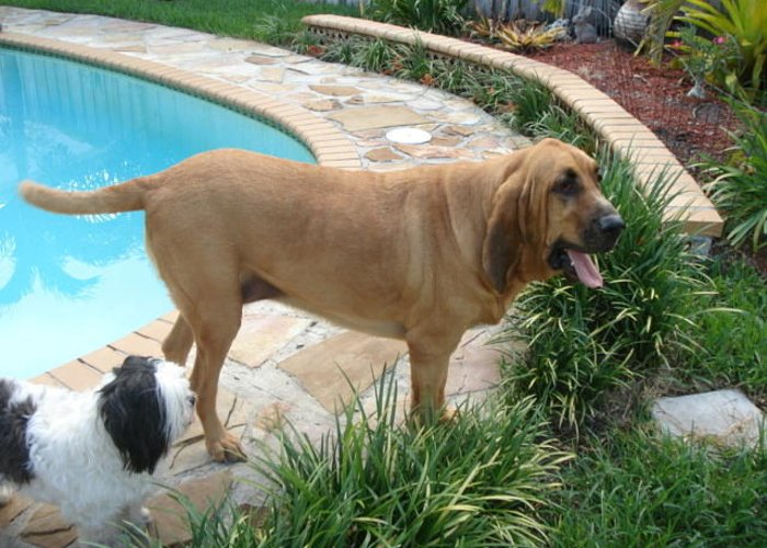 Bloodhound Greeting Card featuring the photograph Cujo And Lucky By The Pool by Val Oconnor